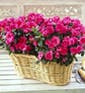 Double Azalea in Basket with Ribbon Treatment